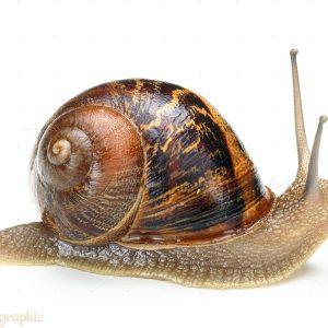 Garden Snail (Helix aspersa).