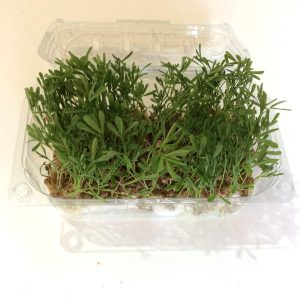 Microgreens lenticchia,sicilia