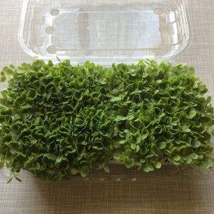 foglia di quercia bionda microgreens