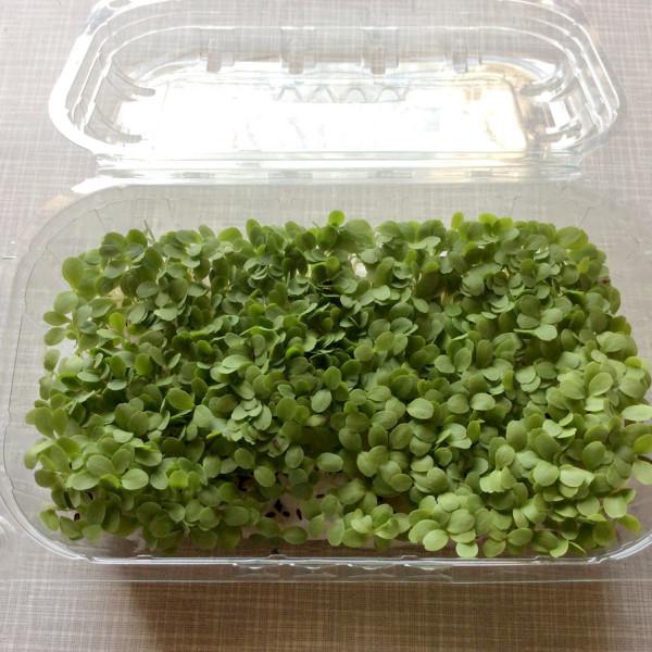 lollo verde microgreens