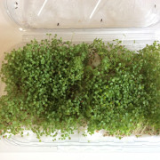 Microgreen Sesamo